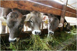 alimentación bovina